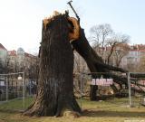 Umgestürzter Baum auf dem Boxhagener Platz